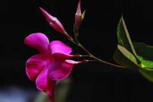 Tara Kingland - Pink Flower
